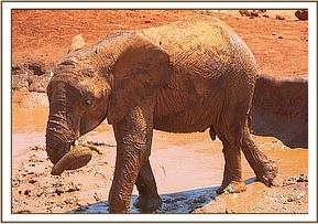 Dabassa leaves the mud hole after wallowing