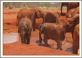 Sorka trying to mudbath with the others