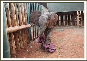 Narok plays with a blanket
