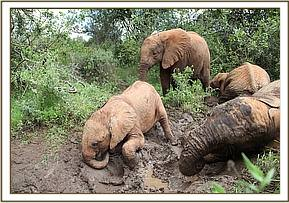 Kithaka enjoying the mudbath with his friends