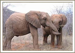Wendi & Taita with trunks entwined