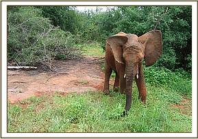 Napasha flapping his ears