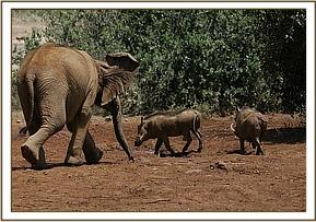Rapsu chasing the warthogs