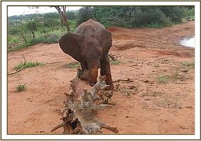 Mzima plays with a tree trunk