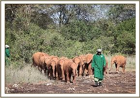 Tano in the lead of the herd