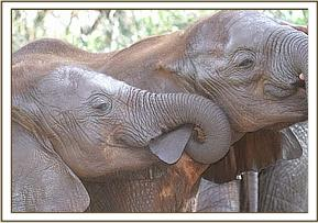 Mawenzi (left) sucking Melia's ear