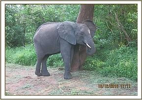 Murera scratching against a tree