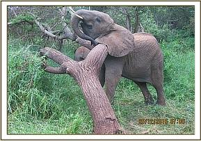 Murera scratching her neck on a tree