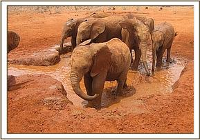 The Voi orphans enjoying their daily mud bath