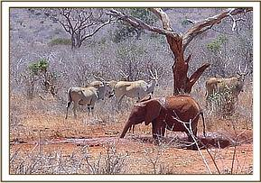 Mukwaju is joined at mudbath by a herd of elands