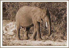 The orphaned elephant calf of the Galana