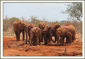 Orphans quenching their thirst at the mud wallow
