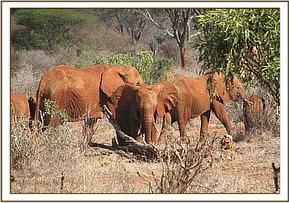 Wild eles foraging next to the orphans