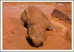 Mzima having a complete mud bath