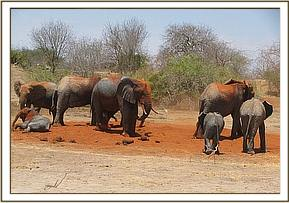 Wild elephants soil dusting with the ex orphans