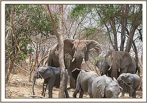 Wild elephants join the orphans at mud bath