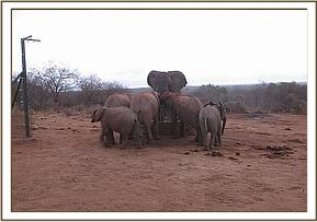 Wild elephant joins orphans at the water trough