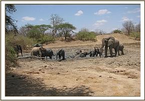Wild elephant, ex orphans & orphans at mud bath