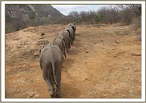Orphans heading for mud wallow