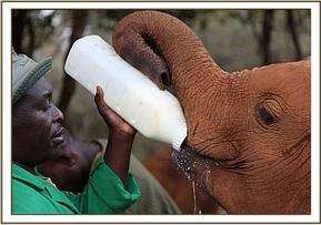 Turkwel having milk