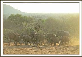 Ex orphan and wild elephants reporting