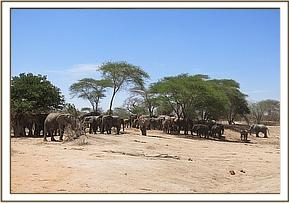 Ex orpahns and wild elephants at mudbath