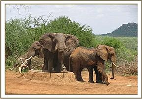 Three wild elephants at stockade