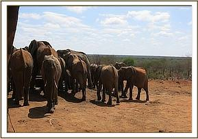 Ex orphans and wild eles at the stockade