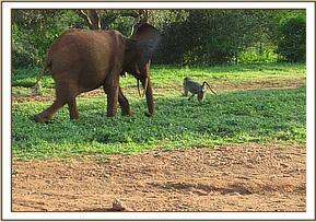 Ndara chases off a baboon