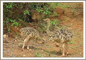 The 2 orphaned ostriches