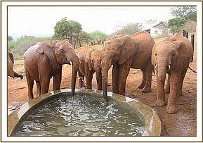 The orphans drinking at thier new trough