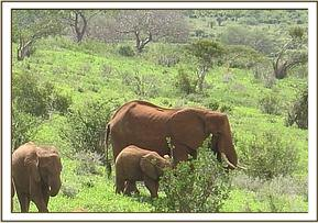 Wasessa beside a wild calf and its mother
