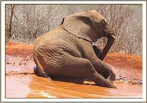 Mzima the only one enjoying the mudbath