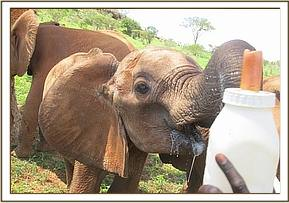 Kivuko's ear unbent while milk feeding
