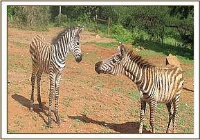 The two orphan zebras