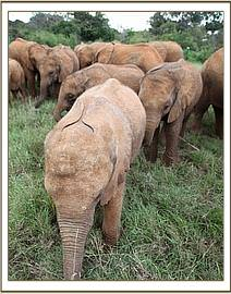 Faraja is much lighter than the other elephants