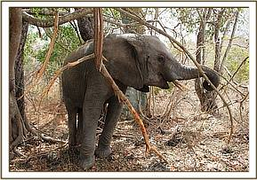 Murera pulling down a tree branch and eating bark