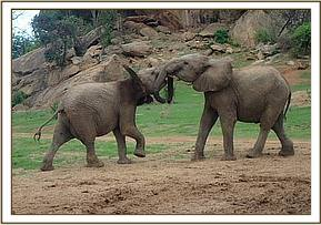 Lemoyian playing with Bomani