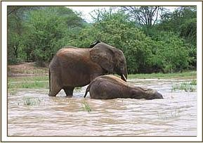 Olmalo enjoying wallowing as Yatta watches