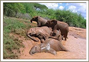 Challa, Madiba & Yatta lying down in a mud wallow