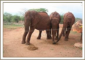 Tsavo, Mweya, Sweet Sally & Morani having Copra