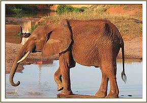 Tsavo having a drink of water