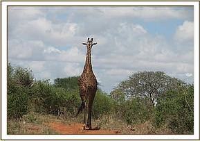 A giraffe coming to drink at the  water hole