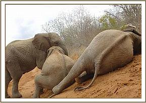 The Ithumba orphans enjoying a soil bath