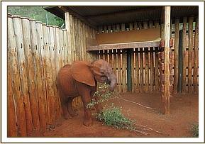 Mbololo eats greens after being rescued