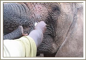 Napasha's wound being cleaned