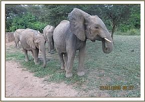 Murera taking the herd out to browse