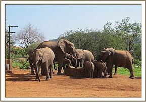 Ex orphans and wild elephant at the stockade