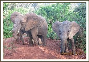 Murera at a muddy soil patch with the babies