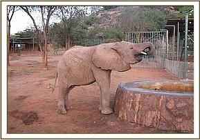 Kora having a drink of water